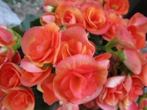 begonia-319355_1280