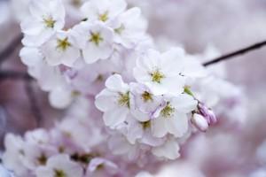 cherry-blossom-438221_1280