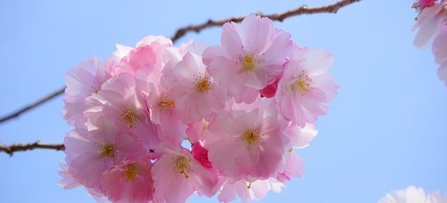 La flor del cerezo es por excelencia la flor de Marzo